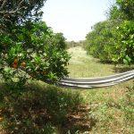 Hammock between oranges