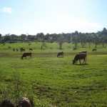 Cows in front of the house