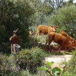 koeien met herder